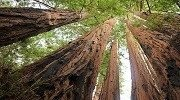 sequoia_sempervirens_big_basin_redwoods_state_park_allie_caulfield_smresize