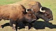 buffalo_1_180x100-2